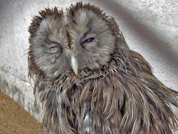 фото невыспавшейся совы это болезнь