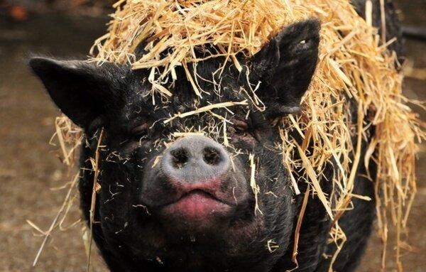 Фото свиней прикольные