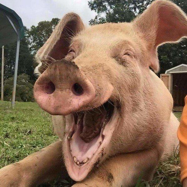 отметок прикольные картинки со свиньями перечень крылатых фраз