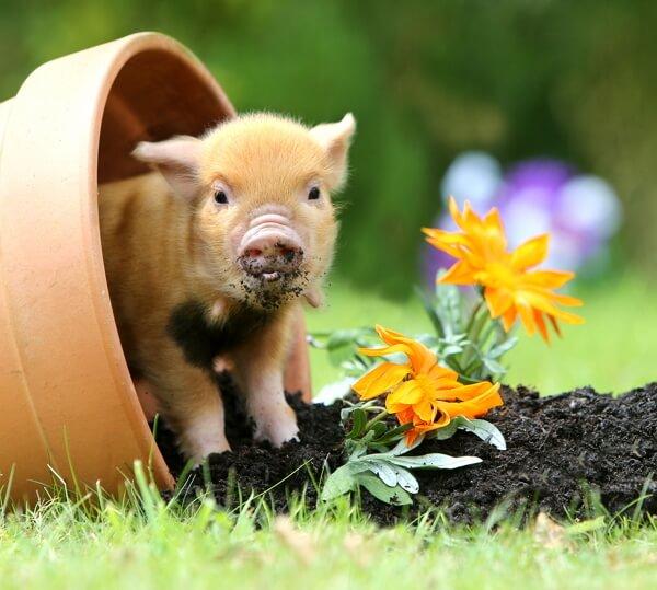 смоленском прикольные картинки со свиньями можно сделать