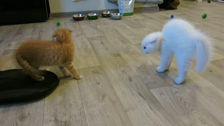 Знакомство двух котят