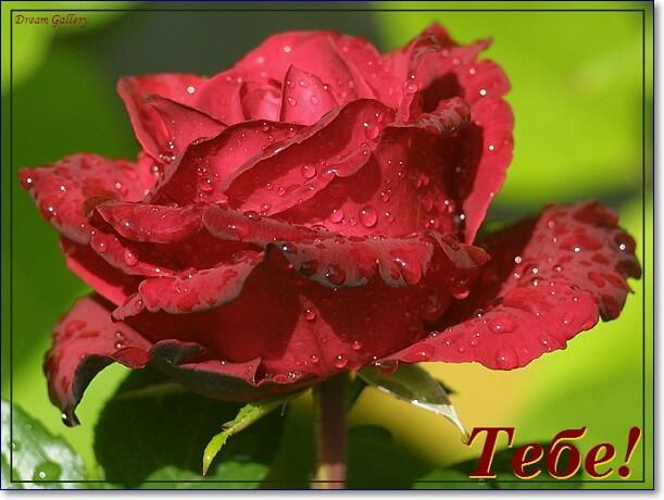 Розы красотке картинки с надписью