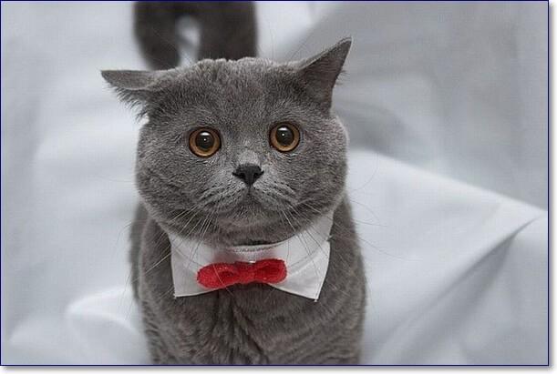 Прикольные фото британского кота