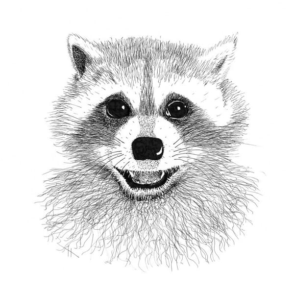 Рисунки енота для срисовки